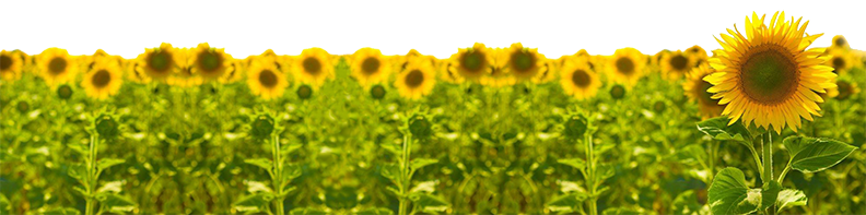 sunflower v3.png